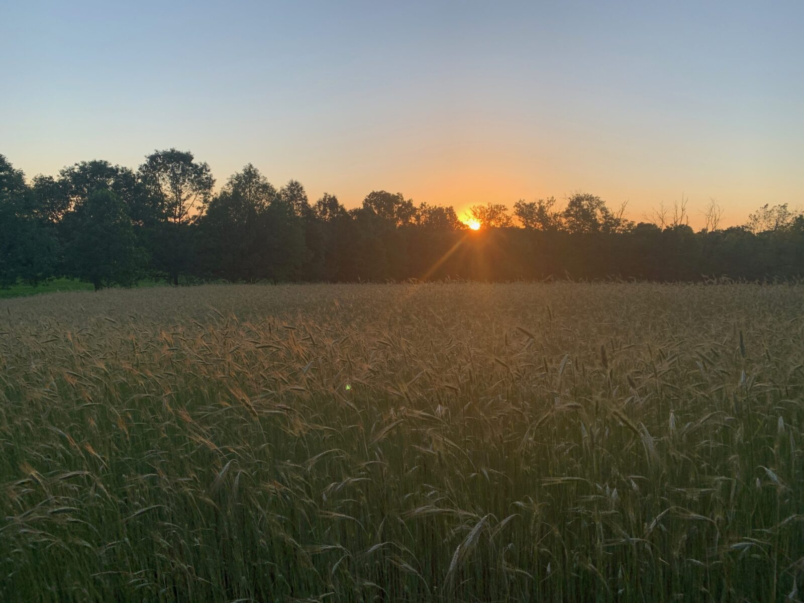 sunset over the rye field